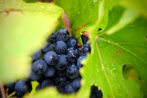nutrients for lung health - grape